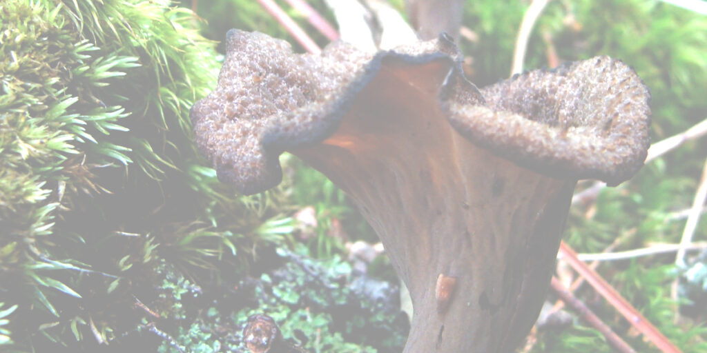 Decorative image of black trumpet mushroom and moss